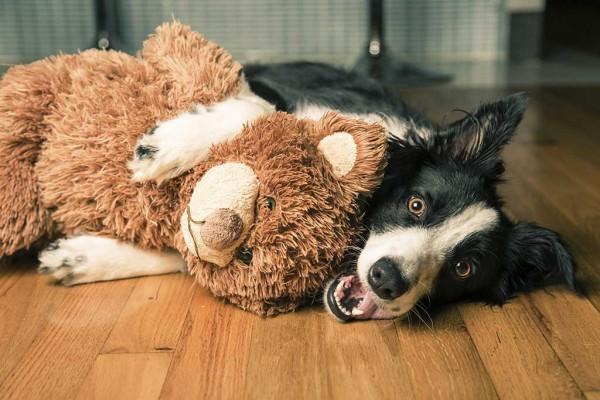 Border-collie-mit-Teddy-ist35440256