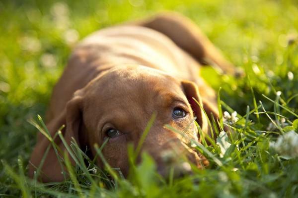 Vizsla-puppy-on-a-warm-summer-evening-IS21234022
